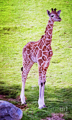 Photograph - Baby Giraffe  by Jim And Emily Bush