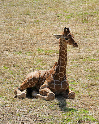 Photograph - Baby Giraffe At Rest by Mary Haber