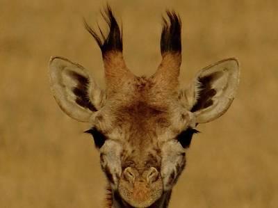 Exploramum Wall Art - Photograph - baby Giraffe close up by Exploramum Exploramum