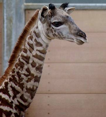 Photograph - Baby Giraffe Long Neck Sd Zoo 2015 by Phyllis Spoor
