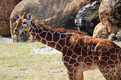 Photograph - Baby Giraffe by Mary Haber