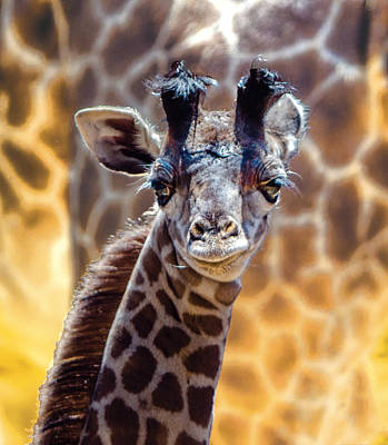 Photograph - Baby Giraffe Portrait by William Bitman