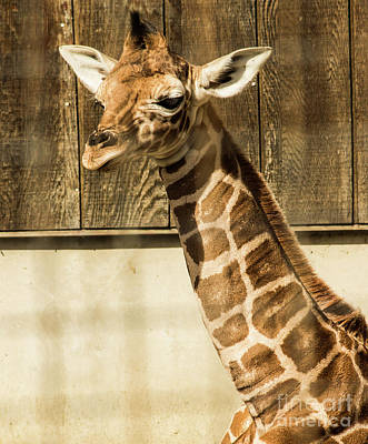 Photograph - Baby Giraffe's Close Up by Suzanne Luft