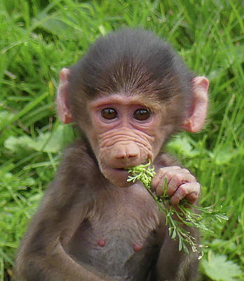 Photograph - Baby Girl Baboon by Margaret Saheed