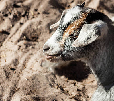 Photograph - Baby Goat by Debra Forand