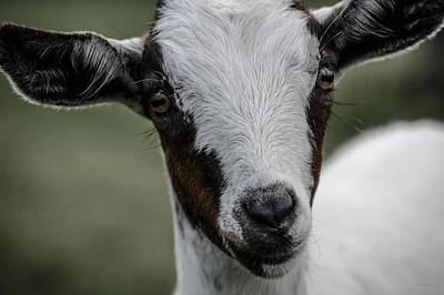 Photograph - Baby Goat by Donna Lee