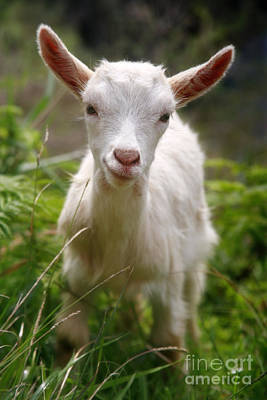 Gaspar Avila Photograph - Baby Goat by Gaspar Avila