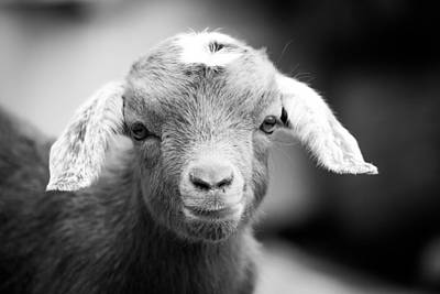 Photograph - Baby Goat Horizontal Monochrome by Shelby Young