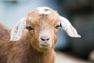 Photograph - Baby Goat Horizontal by Shelby Young