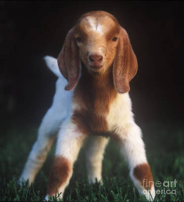 Photograph - Baby Goat by Jim and Emily Bush