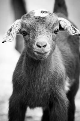Photograph - Baby Goat Monochrome by Shelby Young