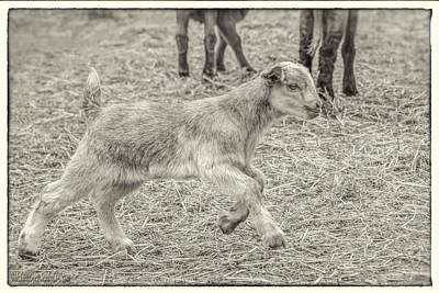 Photograph - Baby Goat On The Run Monochrome by LeeAnn McLaneGoetz McLaneGoetzStudioLLCcom