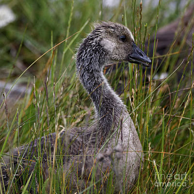 Photograph - Baby Goose by Sue Harper
