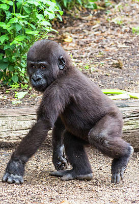 Photograph - Baby Gorilla by Andrew Michael