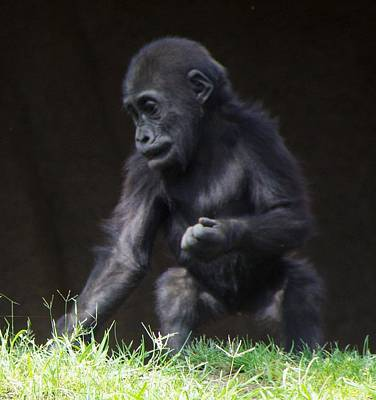 Photograph - Baby Gorilla Portrait by Phyllis Spoor