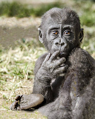 Photograph - Baby Gorilla Portrait by William Bitman