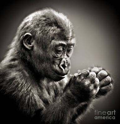 Photograph - Baby Gorilla Studying What He's Holding In His Hands  by Jim Fitzpatrick