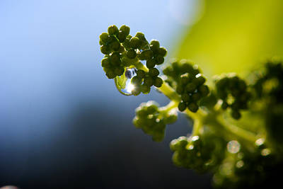 Kelowna Photograph - Baby Grapes by Lisa Knechtel