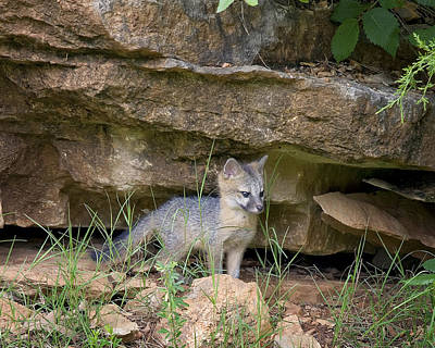 Photograph - Baby Gray Fox by Michael Dougherty