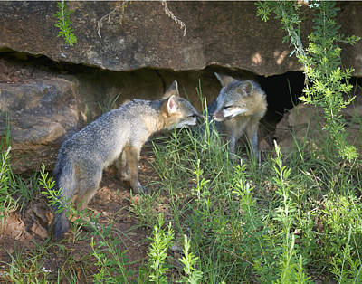 Photograph - Baby Gray Fox Nuzzling by Michael Dougherty