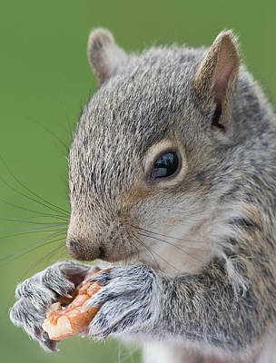 Photograph - Baby Gray Squirrel Duels With A Nut by Jim Zablotny