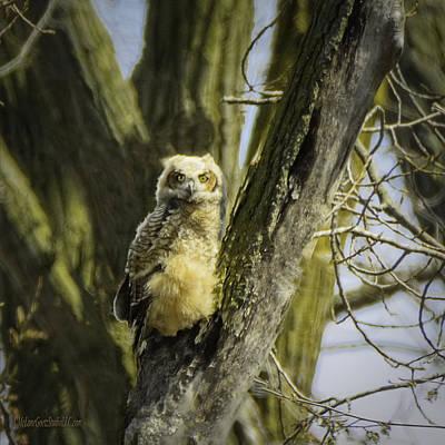 Photograph - Baby Great Horned Owl by LeeAnn McLaneGoetz McLaneGoetzStudioLLCcom