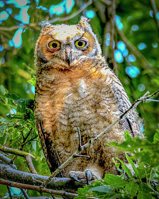 Photograph - Baby Great Horned Owl by Norman Hall