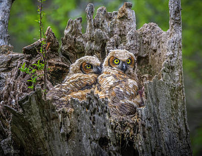 Photograph - Baby Great Horned Owls by LeeAnn McLaneGoetz McLaneGoetzStudioLLCcom