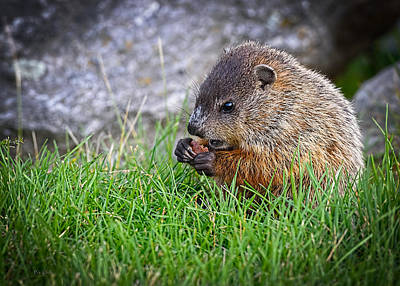 Photograph - Baby Groundhog Eating by Bob Orsillo
