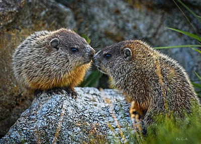 Wildlife Photograph - Baby Groundhogs Kissing by Bob Orsillo