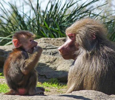 Photograph - Baby Hamadryas Baboon Socialising by Margaret Saheed