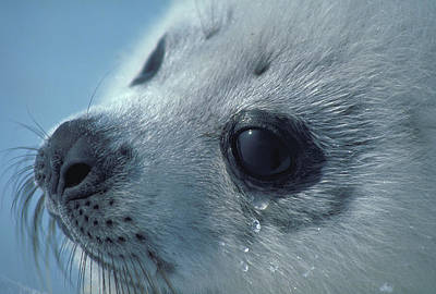 All You Need Is Love - Baby Harp Seal sheds Frozen Tears by Carl Purcell