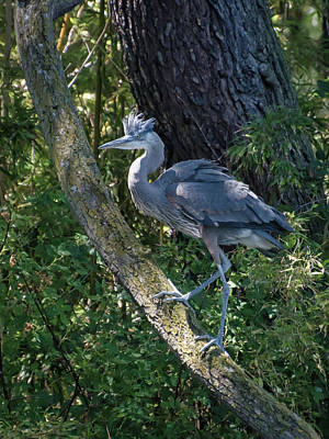 Photograph - Baby Heron by Keith Boone
