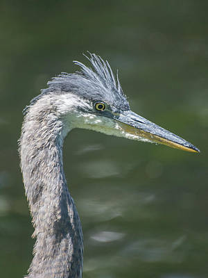 Photograph - Baby Heron Portrait by Keith Boone