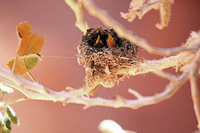 Photograph - Baby Hummingbirds by Brook Burling
