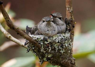 Photograph - Baby Hummingbirds In Nest by Patricia Strand