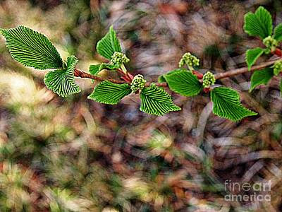 Photograph - Baby Hydrangeas  by Nancy Kane Chapman