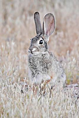 Photograph - Baby Jack Rabbit by Debbie Green