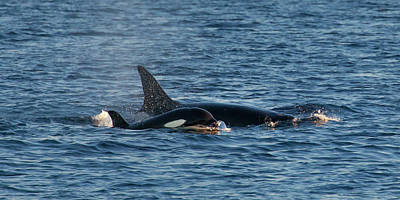Photograph - Baby Killer Whale Off California by Cliff Wassmann