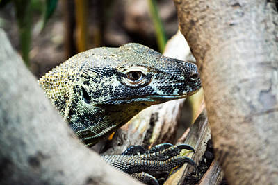 Photograph - Baby Komodo Dragon by Scott Lyons