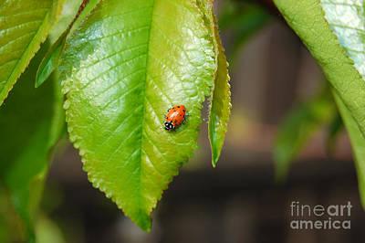 Photograph - Baby Ladybug On Hanging Leaf by Debra Thompson