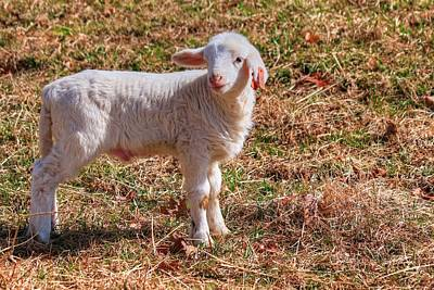 Photograph - Baby Lamb by Carol Montoya