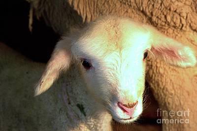 Photograph - Baby Lamb by Carole Martinez