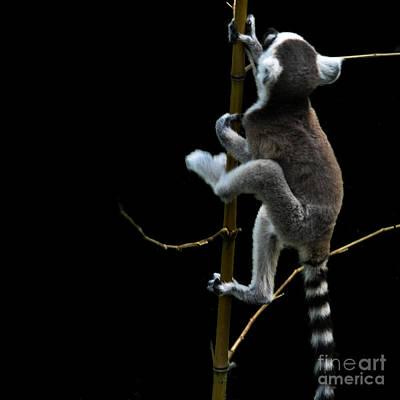 Baby Lemur Escape Attempt Original