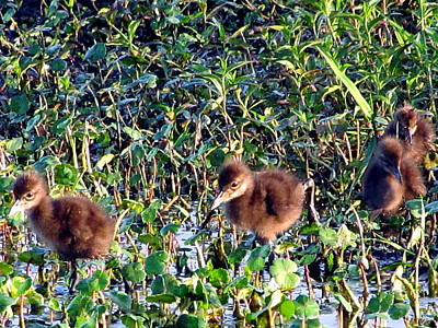Photograph - Baby Limpkins 000  by Chris Mercer