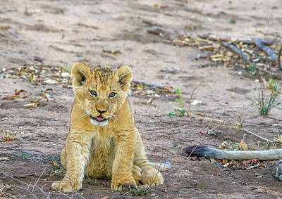 Photograph - Baby Lion Cub by Mark Coran