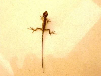 Baby Lizard Art Print