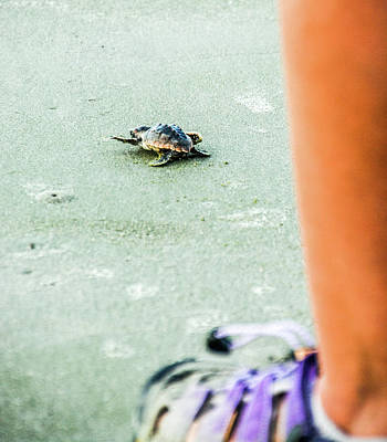 Photograph - Baby Loggerhead by Randy J Heath