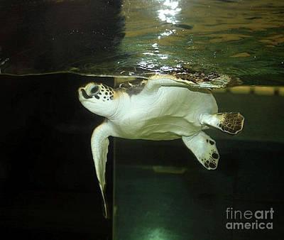 Photograph - Baby Loggerhead Sea Turtle by Scott D Van Osdol