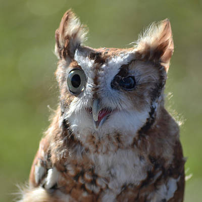 Owl Photograph - Cute Screetch Owl by Philip Ralley